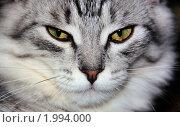 Купить «Серая кошка с желтыми глазами», фото № 1994000, снято 11 декабря 2019 г. (c) Илюхина Наталья / Фотобанк Лори