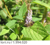 Пчела на цветке. Стоковое фото, фотограф Alexion / Фотобанк Лори