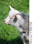 Купить «Портрет бело-серой козочки», фото № 1994132, снято 14 мая 2010 г. (c) Анастасия Некрасова / Фотобанк Лори