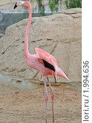 Купить «Розовый фламинго», эксклюзивное фото № 1994636, снято 15 сентября 2010 г. (c) Александр Тарасенков / Фотобанк Лори