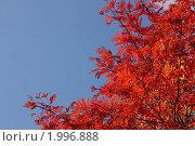 Купить «Красные листья рябины на фоне голубого неба», фото № 1996888, снято 26 сентября 2009 г. (c) Сычёва Виктория / Фотобанк Лори