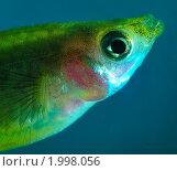 Самка Гуппи. Самая популярная и неприхотливая аквариумная рыбка. Портрет. Стоковое фото, фотограф Елена Алексеева / Фотобанк Лори