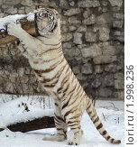 Купить «Тигр на задних лапах», фото № 1998236, снято 2 декабря 2007 г. (c) Дмитрий Куш / Фотобанк Лори
