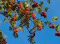 Спелая рябина на фоне яркого синего неба, фото № 2000892, снято 26 сентября 2010 г. (c) Алексей Пантелеев / Фотобанк Лори