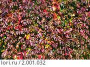Купить «Девичий виноград пятилисточковый (Parthenocissus quinquefolia). Фон», эксклюзивное фото № 2001032, снято 25 сентября 2010 г. (c) Александр Алексеев / Фотобанк Лори