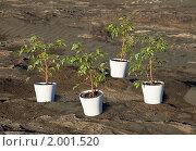 Купить «Озеленение каменистой пустыни с помощью фикусов», фото № 2001520, снято 14 сентября 2010 г. (c) pzAxe / Фотобанк Лори