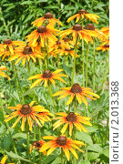 Купить «Желтая рудбекия», фото № 2013368, снято 21 июля 2010 г. (c) Оксана Гильман / Фотобанк Лори