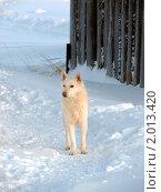 Пес на снегу. Стоковое фото, фотограф Валентин Сурков / Фотобанк Лори