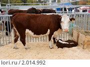 Купить «Корова с телёнком. Порода Казахская белоголовая.», фото № 2014992, снято 25 сентября 2010 г. (c) Вадим Орлов / Фотобанк Лори