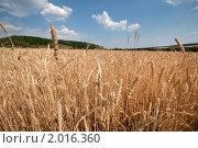 Купить «Пшеничное поле», фото № 2016360, снято 10 июля 2010 г. (c) Yanchenko / Фотобанк Лори
