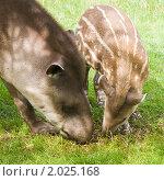 Купить «Южноамериканские тапиры(Tapirus terrestris; Brazilian Tapir; Lowland Tapir; Anta); мама и малыш на пастбище», фото № 2025168, снято 11 августа 2010 г. (c) Tamara Kulikova / Фотобанк Лори