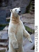 Белый медведь. Стоковое фото, фотограф Максим Блинов / Фотобанк Лори