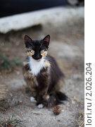 Кошка трехцветная сидит - очень внимательный взгляд. Стоковое фото, фотограф Jumbo / Фотобанк Лори