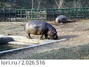 Купить «Бегемот в зоопарке», фото № 2026516, снято 25 марта 2006 г. (c) Ольга Липунова / Фотобанк Лори