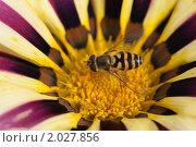Купить «Муха-журчалка на цветке газании», фото № 2027856, снято 30 августа 2009 г. (c) Losevsky Pavel / Фотобанк Лори