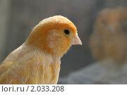 Канарейка. Стоковое фото, фотограф Мария Васильева / Фотобанк Лори
