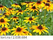 Купить «Желтая рудбекия», фото № 2038684, снято 22 июля 2010 г. (c) Оксана Гильман / Фотобанк Лори