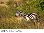 Купить «Зебра , Масаи Мара, Кения», фото № 2040460, снято 20 августа 2010 г. (c) Знаменский Олег / Фотобанк Лори