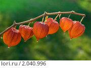 Купить «Физалис (Physalis)», эксклюзивное фото № 2040996, снято 9 октября 2010 г. (c) Александр Алексеев / Фотобанк Лори