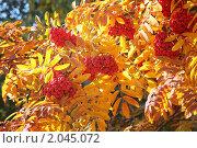 Купить «Рябина красная в контровом свете», фото № 2045072, снято 21 сентября 2010 г. (c) Наталья Волкова / Фотобанк Лори