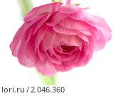 Купить «Розовые цветы ранункулюса на белом фоне», фото № 2046360, снято 5 октября 2010 г. (c) Екатерина Рыбина / Фотобанк Лори