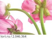 Купить «Розовые цветы ранункулюса на белом фоне», фото № 2046364, снято 5 октября 2010 г. (c) Екатерина Рыбина / Фотобанк Лори