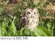 Купить «Болотная сова сидит в траве», эксклюзивное фото № 2050140, снято 15 сентября 2010 г. (c) Яна Королёва / Фотобанк Лори