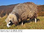 Купить «Овца на горном склоне», фото № 2053372, снято 13 октября 2010 г. (c) Швадчак Василий / Фотобанк Лори