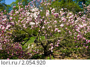 Купить «Цветущая розовая магнолия», фото № 2054920, снято 2 мая 2010 г. (c) ИВА Афонская / Фотобанк Лори