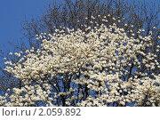Белая магнолия. Крона цветущего дерева. Стоковое фото, фотограф Ольга Липунова / Фотобанк Лори