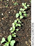 Купить «Молодые растения редиса», фото № 2067016, снято 30 мая 2010 г. (c) Вера Тропынина / Фотобанк Лори