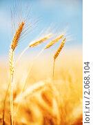 Купить «Золотистое пшеничное поле под синим небом с облаками», фото № 2068104, снято 27 июня 2010 г. (c) Евгений Захаров / Фотобанк Лори