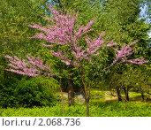 Купить «Маленькое розовое деревце», фото № 2068736, снято 6 мая 2010 г. (c) ИВА Афонская / Фотобанк Лори