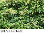 Купить «Шишки хмеля зеленые», фото № 2071328, снято 1 октября 2010 г. (c) Дядченко Ольга / Фотобанк Лори