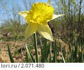 Нарцисс. Стоковое фото, фотограф Анастасия Харитонова / Фотобанк Лори