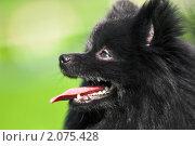 Купить «Черный немецкий шпиц на зеленом лугу», фото № 2075428, снято 2 июля 2010 г. (c) Евгений Захаров / Фотобанк Лори
