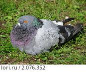 Купить «Сизый голубь», эксклюзивное фото № 2076352, снято 8 сентября 2010 г. (c) lana1501 / Фотобанк Лори