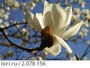 Крупный цветок белой магнолии на фоне синего неба. Стоковое фото, фотограф Ольга Липунова / Фотобанк Лори