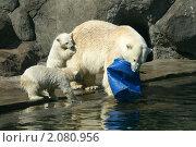 Купить «Медвежата играют с мамой. Семья белых медведей у воды», эксклюзивное фото № 2080956, снято 21 марта 2019 г. (c) Щеголева Ольга / Фотобанк Лори