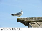Чайка на острове Кижи. Стоковое фото, фотограф Олег Вихарев / Фотобанк Лори