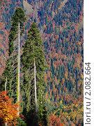 Купить «Пихты Нордманна на фоне смешанного леса», фото № 2082664, снято 26 октября 2010 г. (c) Анна Мартынова / Фотобанк Лори