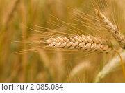 Купить «Колос пшеницы», фото № 2085084, снято 16 сентября 2007 г. (c) Алексей Ухов / Фотобанк Лори