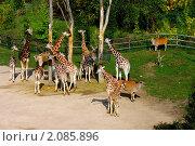 Семейство жирафов. Зоопарк, г.Прага. Стоковое фото, фотограф Николай Венедиктов / Фотобанк Лори