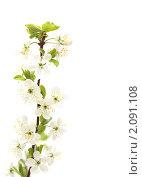 Цветы вишни. Стоковое фото, фотограф Верстова Арина / Фотобанк Лори