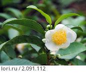 Купить «Цветок чая», фото № 2091112, снято 23 октября 2010 г. (c) Анна Мартынова / Фотобанк Лори