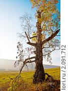 Старая береза. Стоковое фото, фотограф Юлия Казакова / Фотобанк Лори