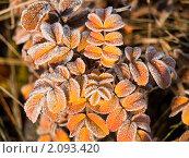 Иней на листве. Стоковое фото, фотограф Андрей Павлов / Фотобанк Лори