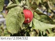 Яблоня ранет. Стоковое фото, фотограф Юрий Андреев / Фотобанк Лори