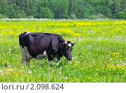 Купить «Корова на поле», фото № 2098624, снято 13 июня 2009 г. (c) Куликов Константин / Фотобанк Лори