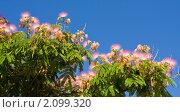 Купить «Ленкоранская акация (Albizia julibrissin)», фото № 2099320, снято 24 июля 2010 г. (c) ИВА Афонская / Фотобанк Лори